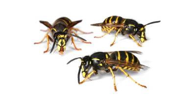Three yellow jackets or wasps up close