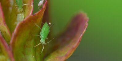 green aphid - turlock ca pest control