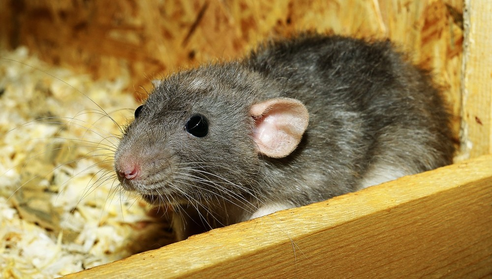 female rat in attic